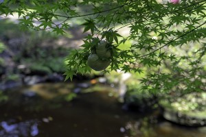 池のほとりにはモリアオガエルの卵塊が